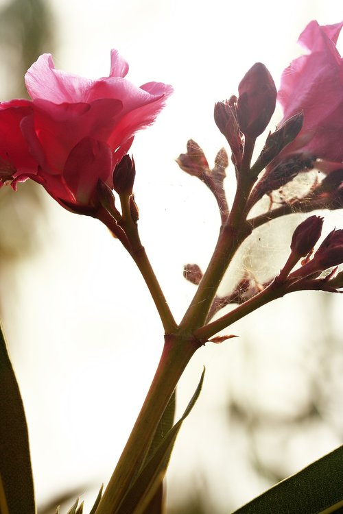 flower  pink  spring