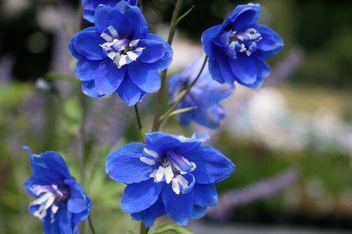 flower  blue  garden