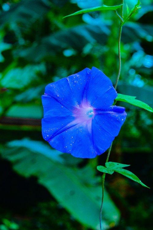 flower  kerala  violet