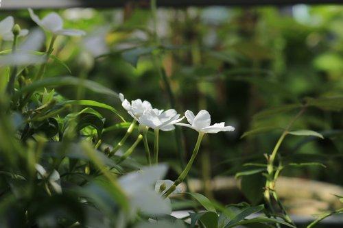 flower  apocynaceae  nature