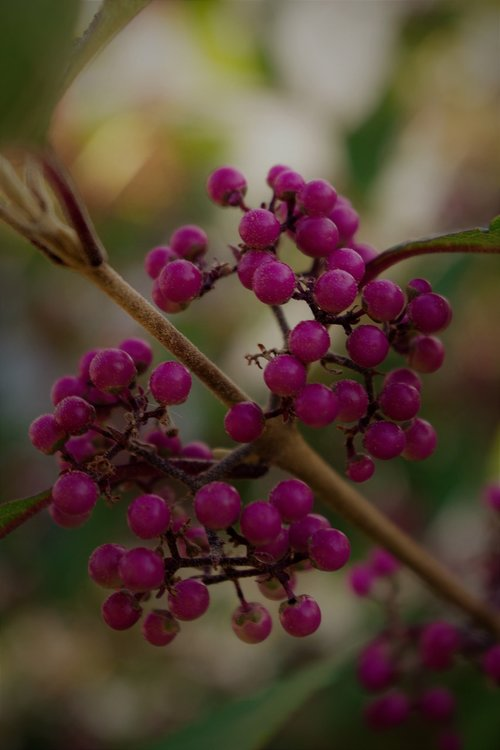 flower  nonpareils  shrub botany