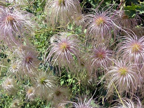 flower  clematis  ranunculaceae