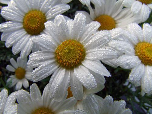 gėlė,marguerite,po lietaus,gėlės,balta,sodo augalas,konteinerių gamykla,rozės,augalas,sodas,pavasaris,vasara,gamta,lašelinė,lašas vandens,šviežias
