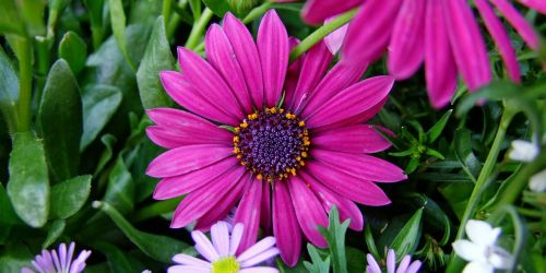 gėlė,viršukalnės krepšys,ispanų marguerite,violetinė,rožinis,žiedas,žydėti,gėlės,gamta,sodas,augalas,pavasaris,vasara