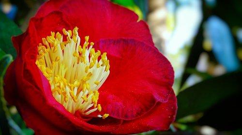 flower  red  carnelian