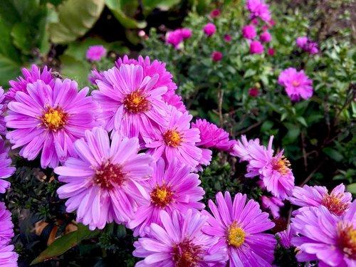 flower  herbstastern  asters
