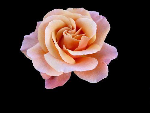 gėlė,makro,rožinis,spalva rožinė,gamta,žydėjo,žiedlapiai,lašišos spalva