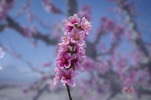 flower  peach  branch