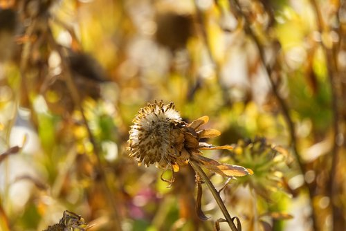 flower  faded  autumn