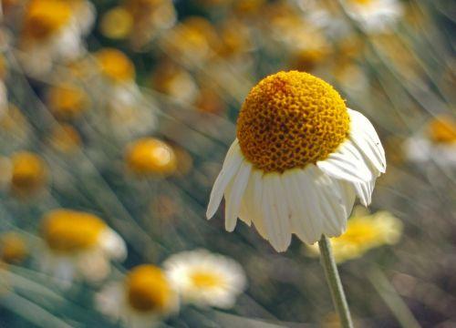 žiedas,žydėti,ramunė,kompozitai,vaistinis augalas,vaistinis augalas,laukinis augalas,laukinė gėlė,tikra ramunėlė