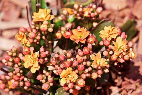 flower  achillea  nature