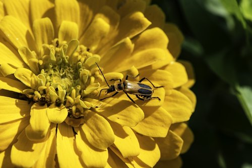 flower  bug  insect