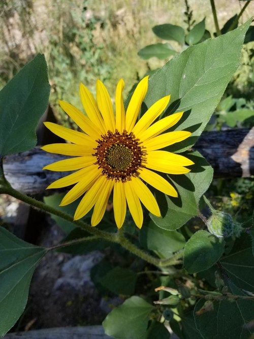 flower  yellow  denver