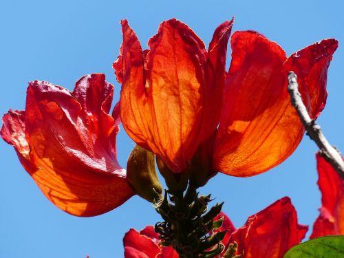 žiedas,žydėti,raudona,tulpių medis,šviesus,african tulpenbaum,spathodea campanulata,bignoniaceae augalai,bignoniaceae,varpelio formos,panicle,sepals