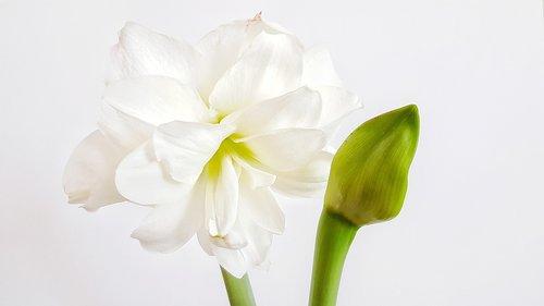 flower  hippeastrum  bud