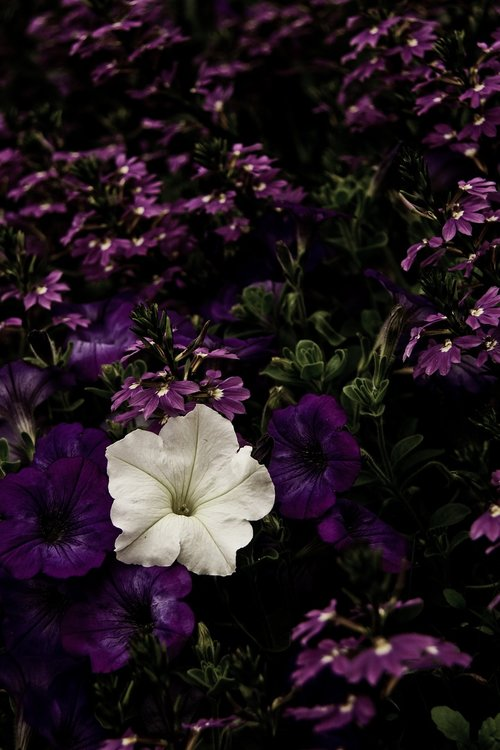 flower  violet  purple
