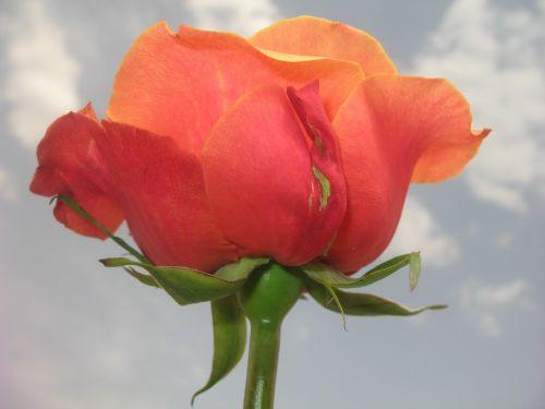 gėlė,rožė,kontrastas,gamta,dangus,debesis,žalias,pavasaris