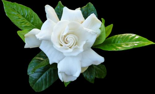 flower  white  gardenia