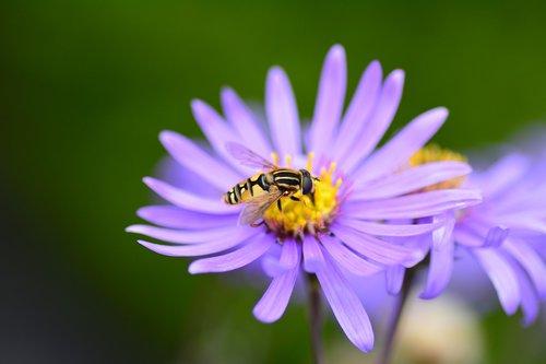 flower  bee  purple