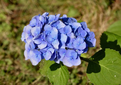 flower  flower blue color  flower hydrangea
