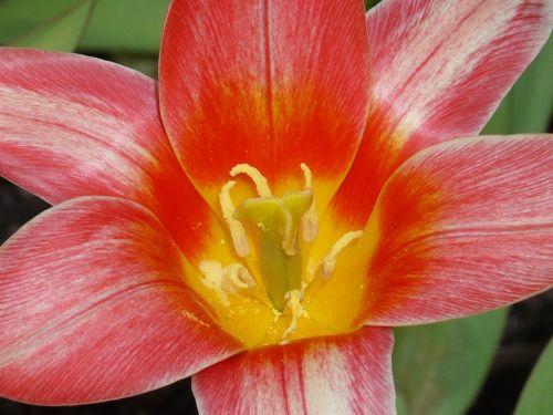 gėlė,tulpė,žiedas,žydėti,žydėti,gražus,frisch,gėlės,sodas,gamta,pavasaris,oranžinė,raudona,antspaudas,žiedadulkės