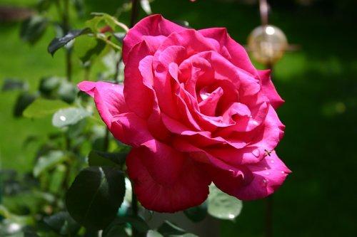 flower  rose  floribunda