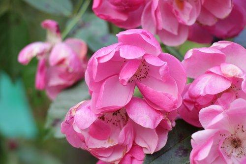 flower  flowers  pink