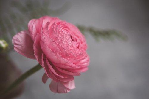 flower  ranunculus  blossom