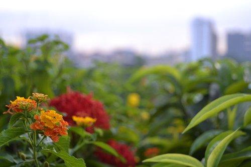 flower  kuala lumpur  malaysia