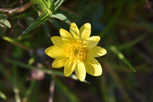 flower  yellow flower  buttercup