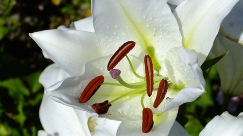 flower  lily  stamens