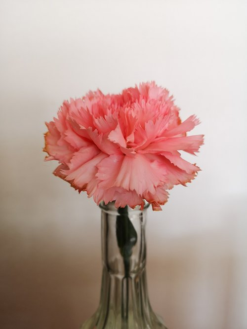 flower  carnation  spring