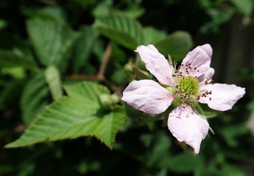 flower  blackberry  blossom
