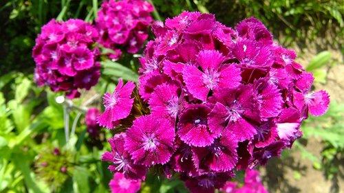 flower  clove  petals