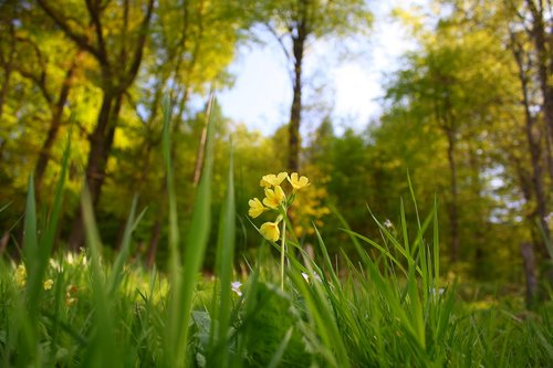 flower  cowslip  bloom