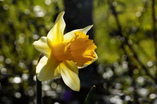 flower  daffodil  narcissus