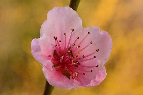 flower  pistilli  spring