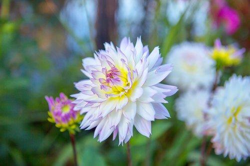 flower  mum  purple