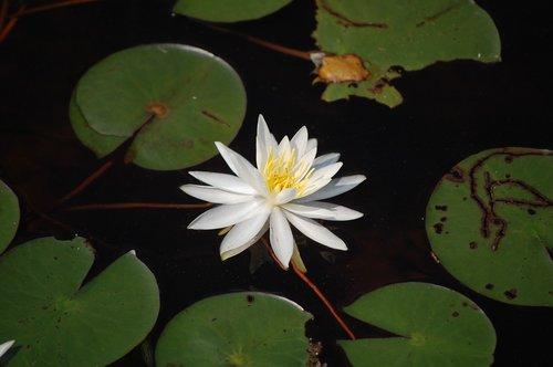 flower  waterlily  leaf
