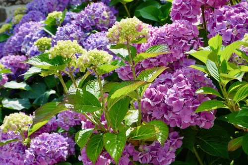 flower  flowers hydrangea  small mauve flowers