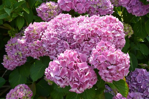 flower  flowers hydrangea  hydrangea pink color