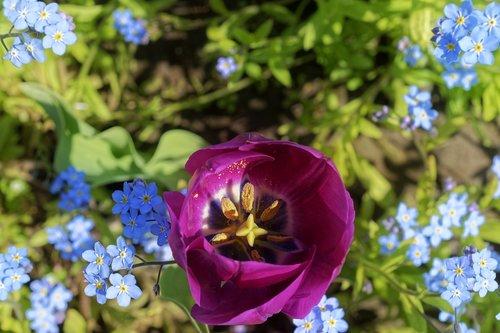 flower  flowers  tulip