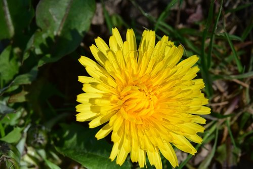 flower  dandelion  yellow flower