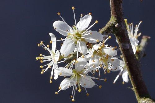 flower  shrub  blackthorn