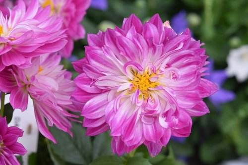 flower  flowers  dahlia