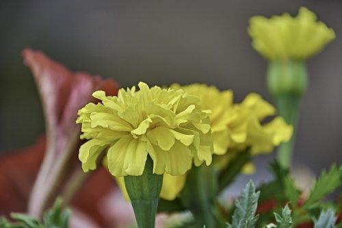 flower  garden  carnation chinese