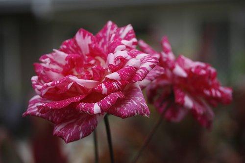 flower  variegated  rose