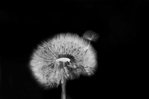 flower  lint  dandelion