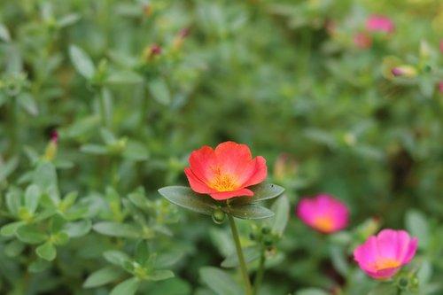 flower  portulaca grandiflora  pink