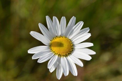 flower  marguerite  daisies